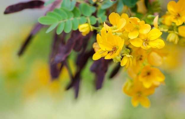 सनाय (सेना) के फायदे और नुकसान - Benefits and Side Effects of Senna in Hindi