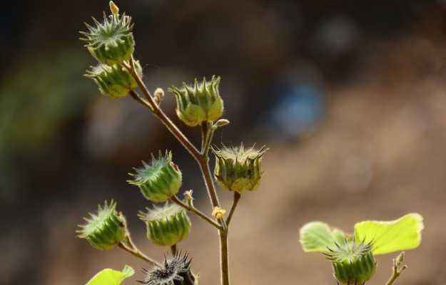 अतिबला के फायदे और नुकसान - Benefits and Side Effects of Atibala in Hindi
