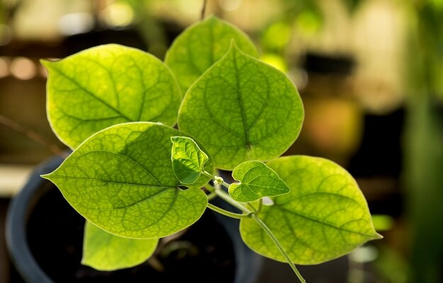 Patha plant benefits and side effects