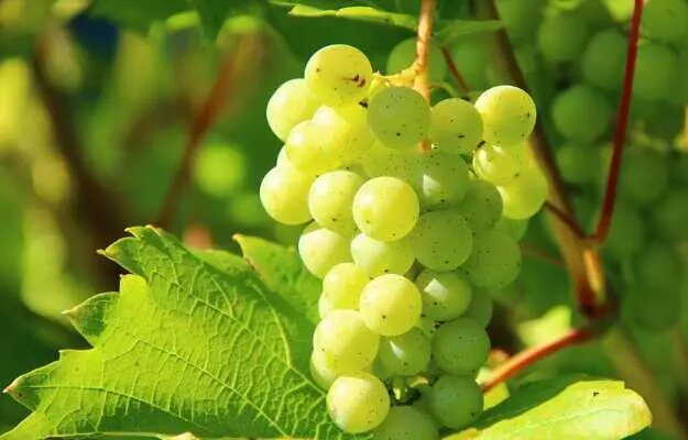 अंगूर के फायदे और नुकसान - Grapes Benefits and Side Effects in Hindi